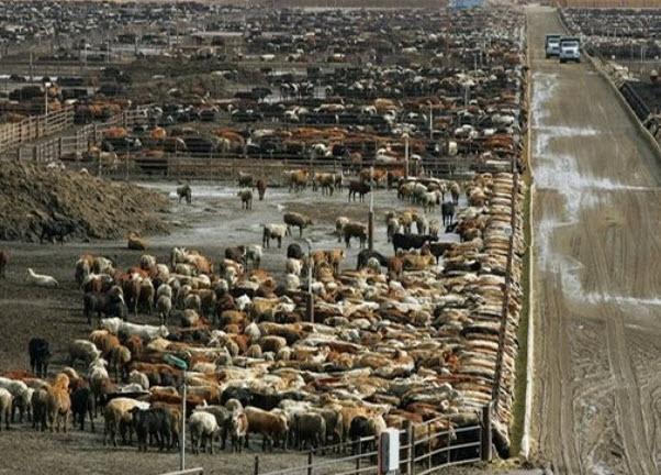 cattle feedlot 1