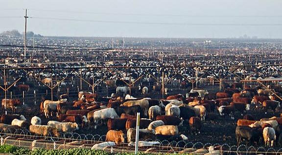 cattle feedlot 2
