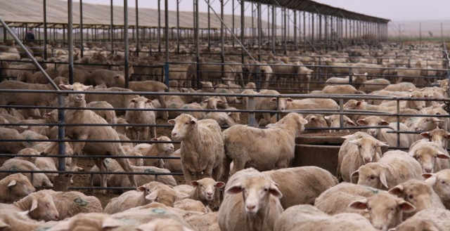 sheep feedlot